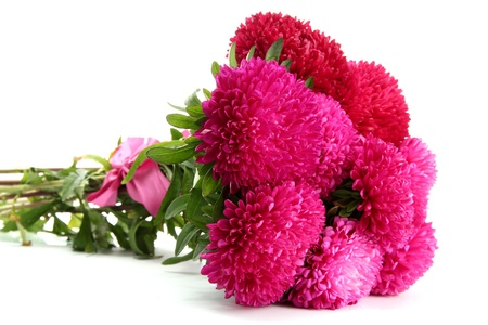 pink aster flowers, isolated on white photo