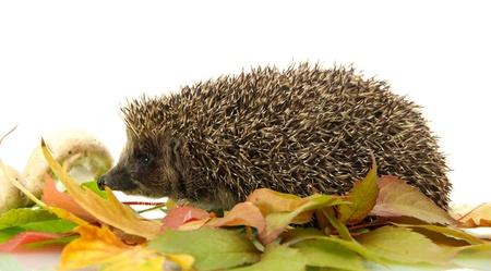 Hedgehog on autumn leaves, isolated on white photo