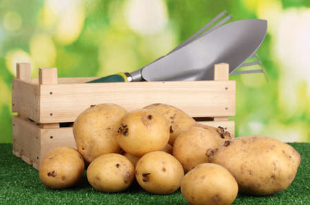 golden shovel: Ripe potatoes on grass on natural background Stock Photo