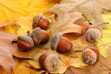 nov: brown acorns on autumn leaves, close up