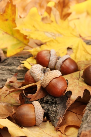 brown acorns on autumn leaves, close up photo
