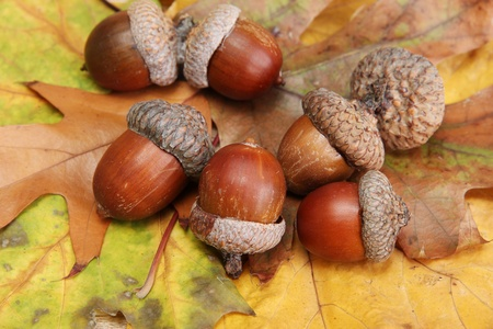 brown acorns on autumn leaves, close up Stock Photo - 16106488