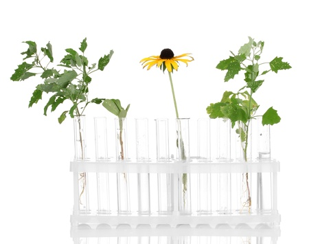incubate: Test-tubes with a transparent solution and the plant isolated on white background close-up Stock Photo