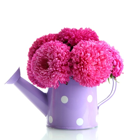 watering can: pink aster flowers in watering can, isolated on white