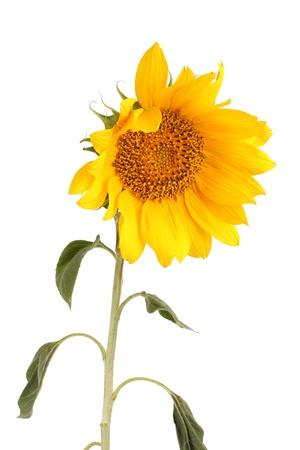 mooie zonnebloem, geïsoleerd op wit Stockfoto