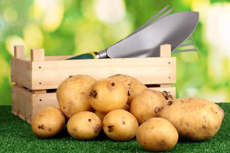 Ripe potatoes on grass on natural background Stock Photo - 16196171