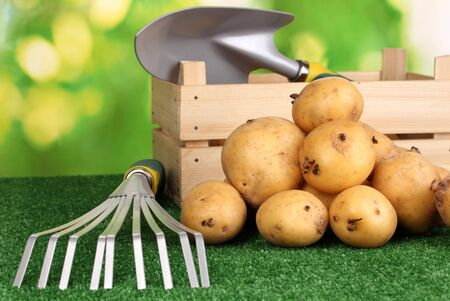 Ripe potatoes on grass on natural background photo