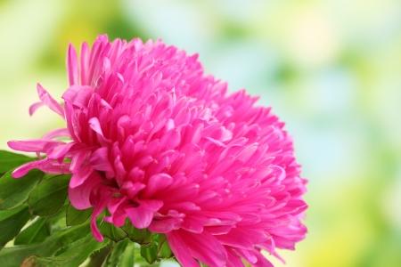 flowerhead: beautiful aster flower, on green background