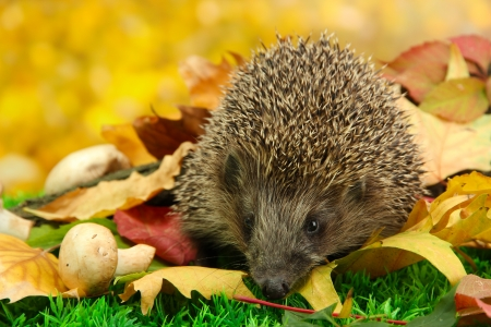 Hedgehog on autumn leaves in forest photo