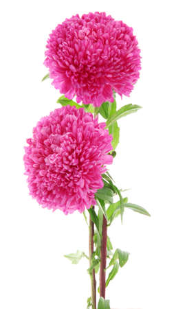 pink aster flowers, isolated on white Stock Photo - 16339401