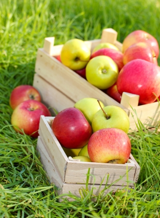crates of fresh ripe apples in garden on green grass photo
