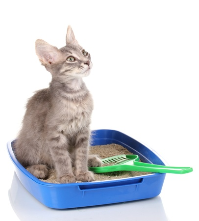 blue box: Small gray kitten in blue plastic litter cat isolated on white