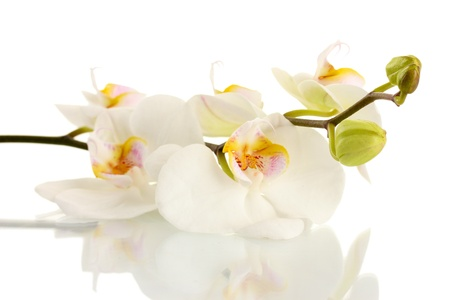 the white flower: beautiful orchid, isolated on white