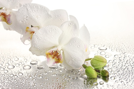 orchids: white beautiful orchid with drops Stock Photo