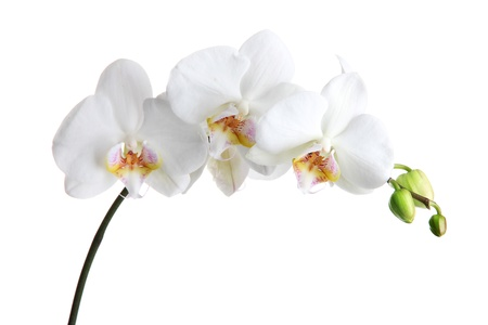 orchid branch: beautiful orchid, isolated on white