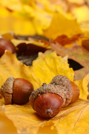 brown acorns on autumn leaves, close up Stock Photo - 16620532