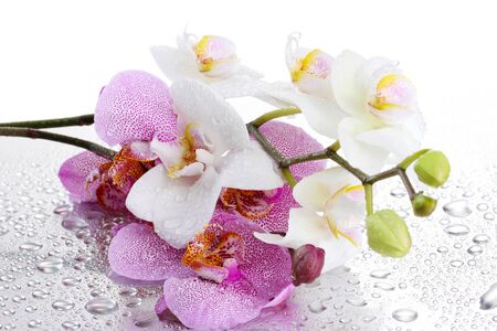 pink and white beautiful orchids with drops photo