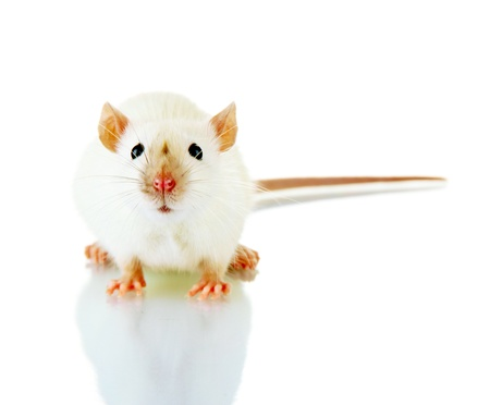 funny little rat, isolated on white Stock Photo - 16620021