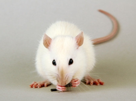 funny little rat with food, on grey background photo