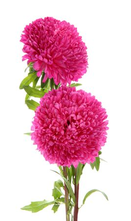pink aster flowers, isolated on white Stock Photo - 16737105
