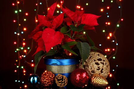 Beautiful poinsettia with christmas balls on Christmas lights background photo