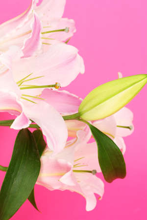 beautiful lily on pink background photo