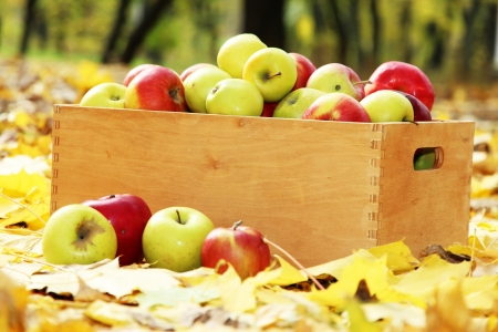 crate of fresh ripe apples in garden on autumn leaves photo