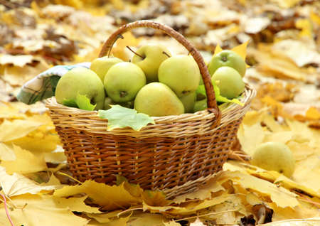 basket of fresh ripe apples in garden on autumn leaves photo