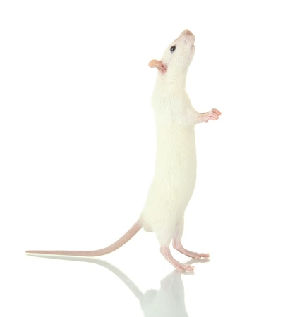 funny little rat, isolated on white photo