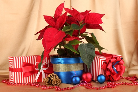 Beautiful poinsettia with christmas balls and presents on gold fabric background photo