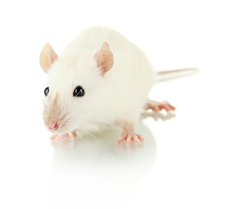 mouse animal: funny little rat, isolated on white