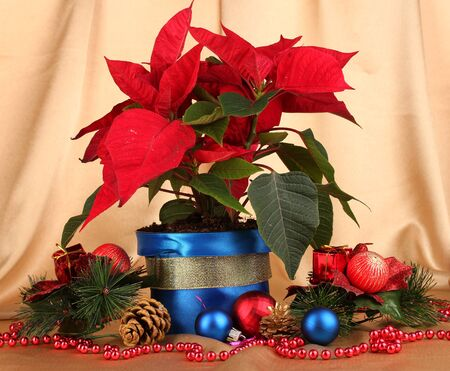 Beautiful poinsettia with christmas balls on gold fabric background photo