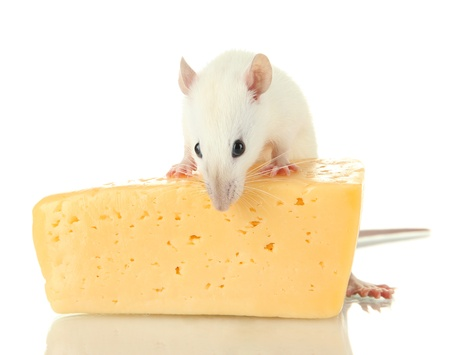 funny little rat with cheese, isolated on white Stock Photo - 16912816