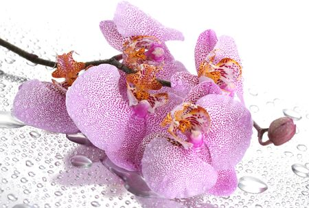pink beautiful orchid with drops photo