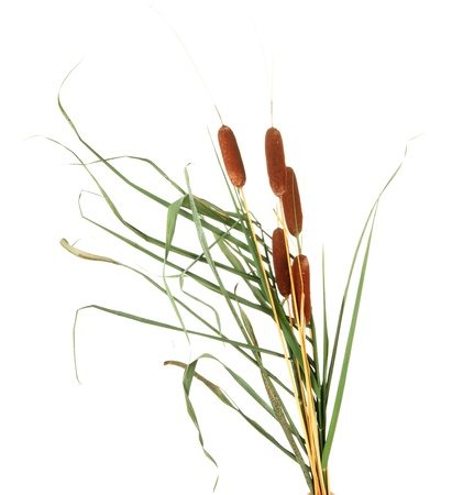cattails: reeds, isolated on white