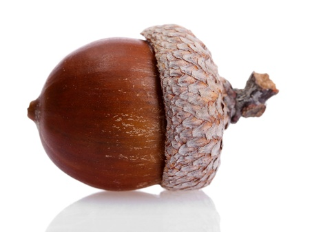 oak tree: brown acorn, isolated on white Stock Photo