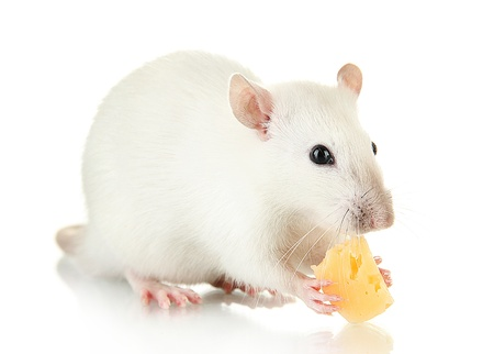 funny little rat with cheese, isolated on white Stock Photo - 17046485