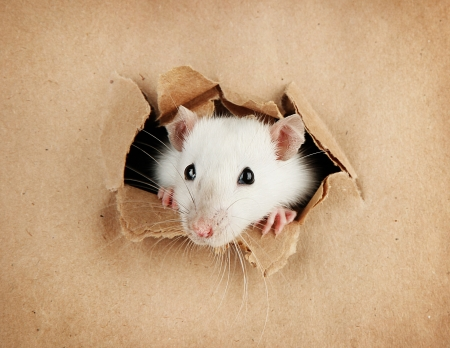 rata: rata poco gracioso en fondo de papel