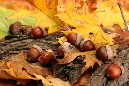 brown acorns on autumn leaves, close up Stock Photo - 17139500