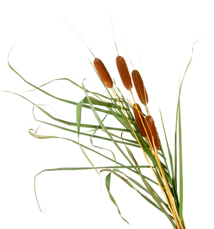 marsh plant: reeds, isolated on white