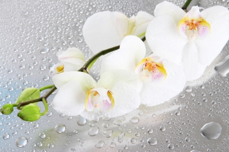 white beautiful orchids with drops photo