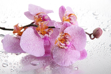 pink beautiful orchids with drops photo