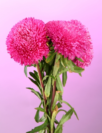 beautiful aster flowers, on pink background photo
