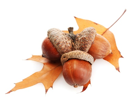 brown acorns on autumn leaf, isolated on white photo