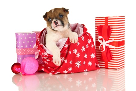 pet new years new year pup: Beautiful little puppy in New Year bag isolated on white