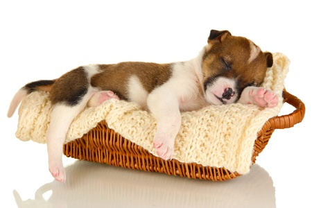 Beautiful little puppy sleeping in basket isolated on white Stock Photo - 17186544