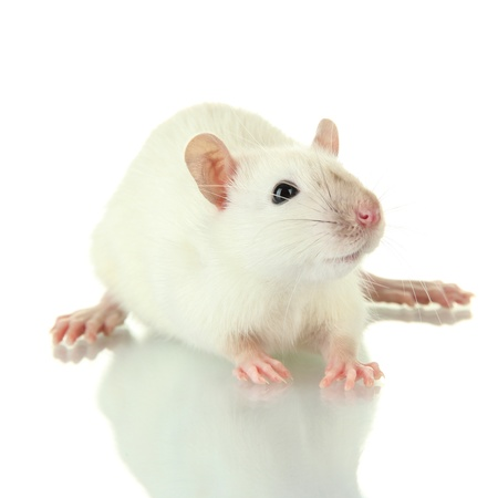 funny little rat, isolated on white Stock Photo - 17321184
