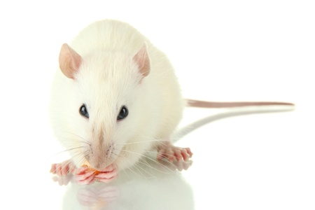 funny little rat with food, isolated on white Stock Photo - 17321101