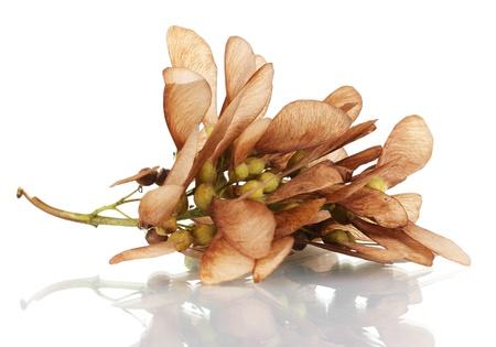 aceraceae: maple seed isolated on white Stock Photo