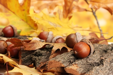 pile of leaves: brown acorns on autumn leaves, close up